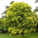 Koelreuteria - Koelreuteria paniculata