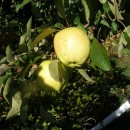 Măr Belle Fleur Jaune