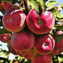 Măr Cortland