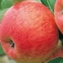 Măr Pinova