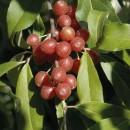 Măslin de toamnă (Elaeagnus umbellata)