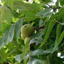 Nuc american (negru) - Juglans nigra