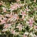 Salcie Japoneza (Salix Integra Hakuro-nishiki)