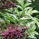 Soc Variegata (Sambucus nigra Variegata)