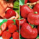 Stoloni de Căpșuni FRIGO El Gigant (set 5 buc.)
