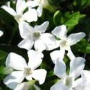 Vinca albă Gertrude Jekyll (Vinca Minor)