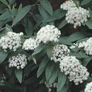 Călin veșnic verde (Viburnum rhytidophyllum)