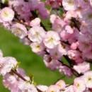 Cireș japonez pitic (Prunus triloba)