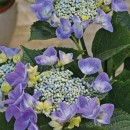 Hortensie Blue Bird