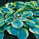 HOSTA FRANCESS WILIAMS