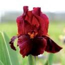 Iris Germanica Red Zinger