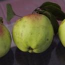 Măr Belle Fleur Kitaika