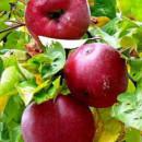 Măr cu aromă de zmeură