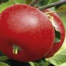 Măr Discovery