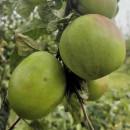 Măr Gurken