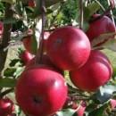Măr Lampart