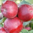 Măr Red Cortland