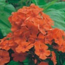 Phlox portocaliu
