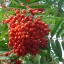 Scoruș de munte (Sorbus aucuparia)