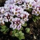 Tășculiță (Aethionema Oppositifolium)