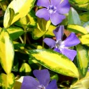 Vinca Minor Cahill (ILLUMINATION)
