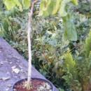 Alun creț Contorta (Corylus avellana Contorta)