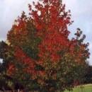 Arbore de gumă (Liquidambar styriciflua)