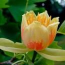 Arbore de lalea (Liriodendron tulipifera)