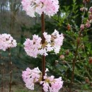 Călin de iarna (Viburnum bodnantense Dawn)