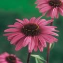 Echinacea Roz