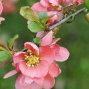 Gutui japonez Pink Trail