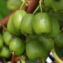 Kiwi Vitikiwi