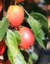 Măr John Downie