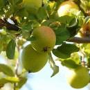 Măr Renet Ananas
