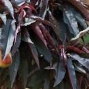 Piersic pitic cu frunze roșii