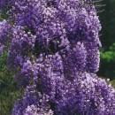 "Wisteria Violacea Plena (Wisteria floribunda ""Violacea Plena"")"