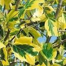 Arbore de lalea Aureomarginatum (Liriodendron tulipifera Aureomarginatum)
