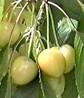 Cireş Drogana galbenă