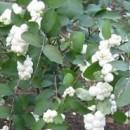 Hurmuz White Hedge (Symphoricarpos × doorenbosii White Hedge)