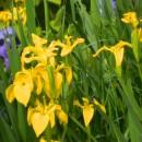 Iris sălbatic de baltă