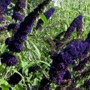 Liliac de vară Black Knight (Buddleja davidii)