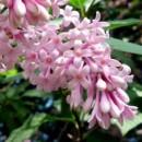 Liliac transilvanean (Syringa josikea)