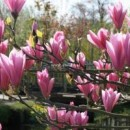 Magnolie Heaven Scent