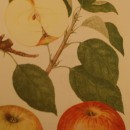 Măr Creţesc roșu