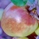 Măr Entz Rozmarin