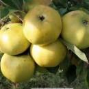 Măr London Pepping