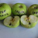 Măr verde de iarnă Țebea