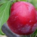 Prun Nectarină roșie