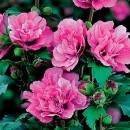 Trandafir chinezesc (Hibiscus) Duc de Brabant