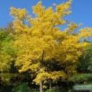 Arbore de pluta de Amur (Phellodendron amurense)